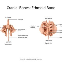 Ethmoid Bone Diagram Application Structure Images Of Rock Cafe