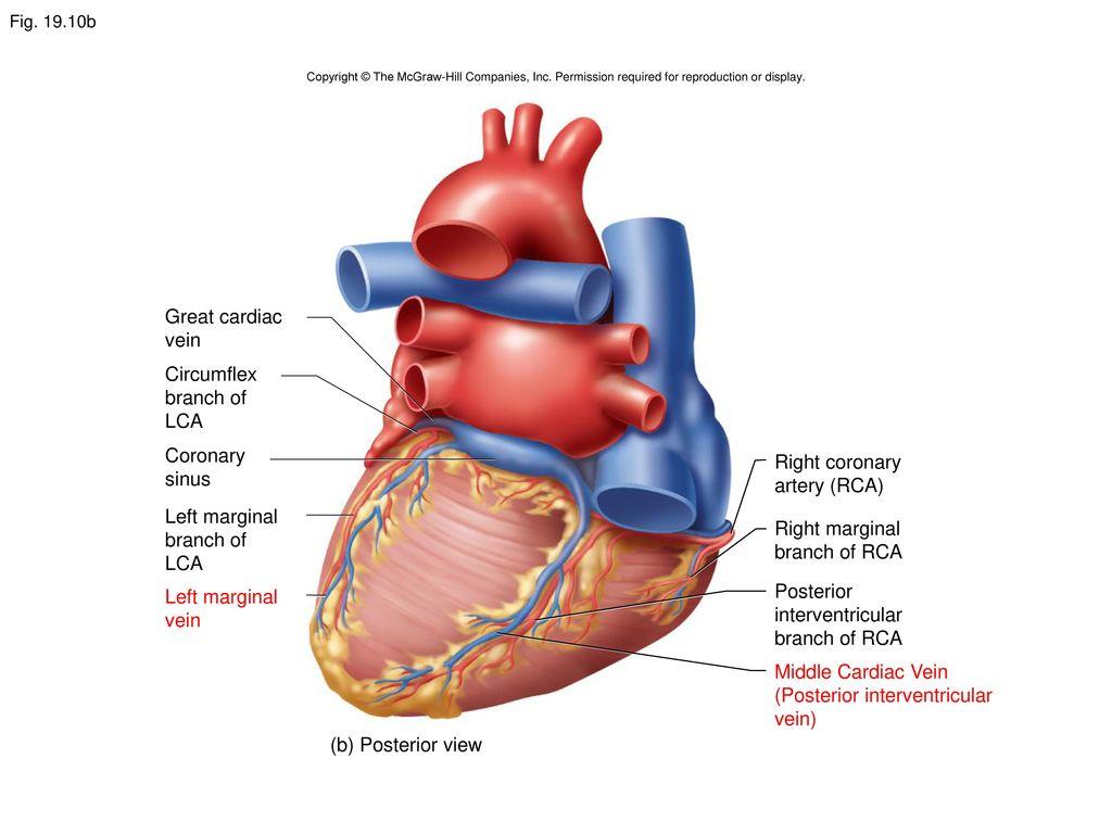 hight resolution of 38 posterior interventricular