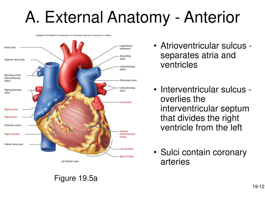 hight resolution of a external anatomy anterior