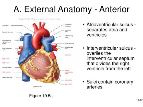 small resolution of a external anatomy anterior
