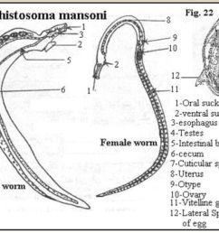 schistosoma japonicum egg schistosoma mansoni egg 7 5 11 2018 [ 1024 x 768 Pixel ]