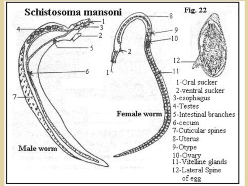 medium resolution of schistosoma japonicum egg schistosoma mansoni egg 7 5 11 2018