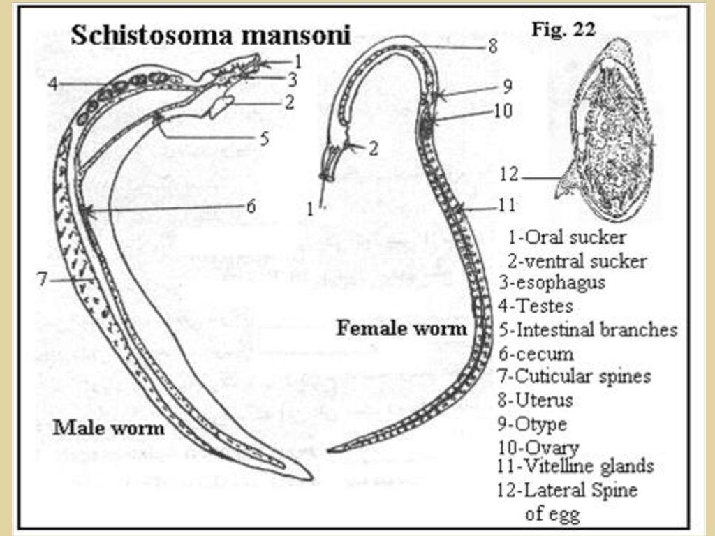 hight resolution of schistosoma japonicum egg schistosoma mansoni egg 7 5 11 2018