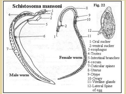 small resolution of schistosoma japonicum egg schistosoma mansoni egg 7 5 11 2018