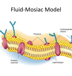fluid mosiac model outside of cell inside cytoplasm carbohydrate [ 1024 x 768 Pixel ]