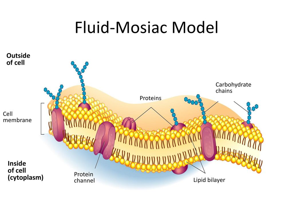 hight resolution of fluid mosiac model outside of cell inside cytoplasm carbohydrate