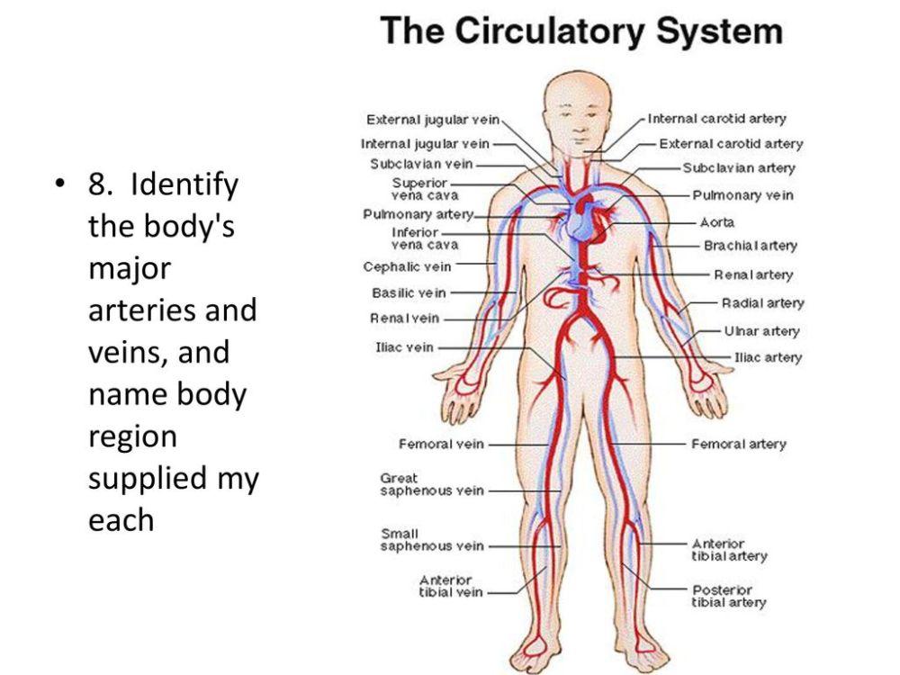 medium resolution of 13 8 identify the body s major arteries