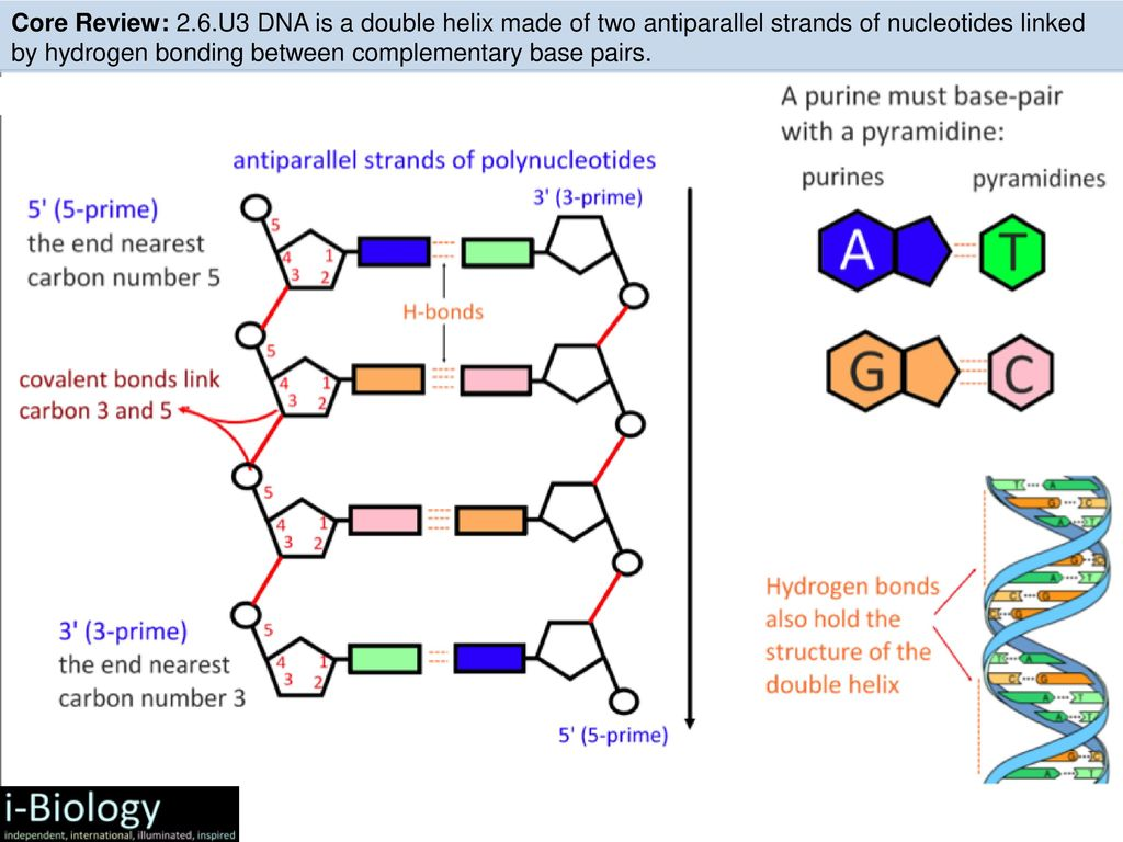 hight resolution of u3 dna is a double helix made of two antiparallel strands of nucleotides linked by hydrogen bonding between complementary base pairs