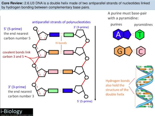 small resolution of u3 dna is a double helix made of two antiparallel strands of nucleotides linked by hydrogen bonding between complementary base pairs