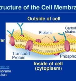 structure of the cell membrane [ 1024 x 768 Pixel ]