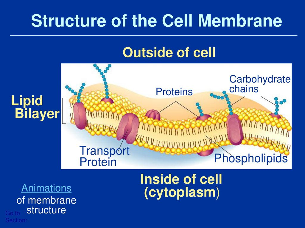 hight resolution of structure of the cell membrane