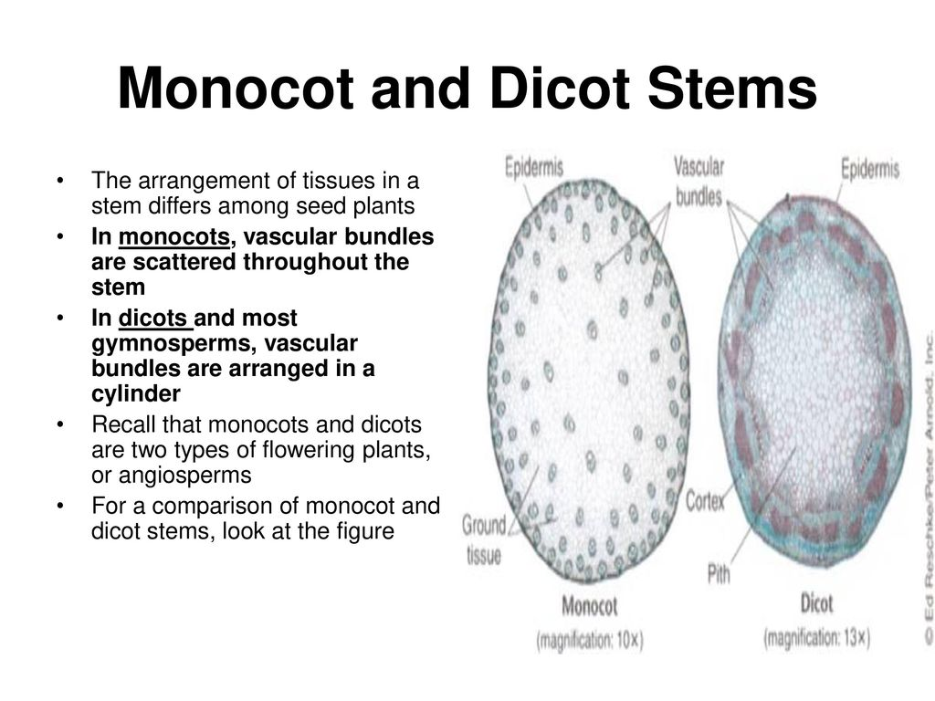 hight resolution of monocot and dicot stems