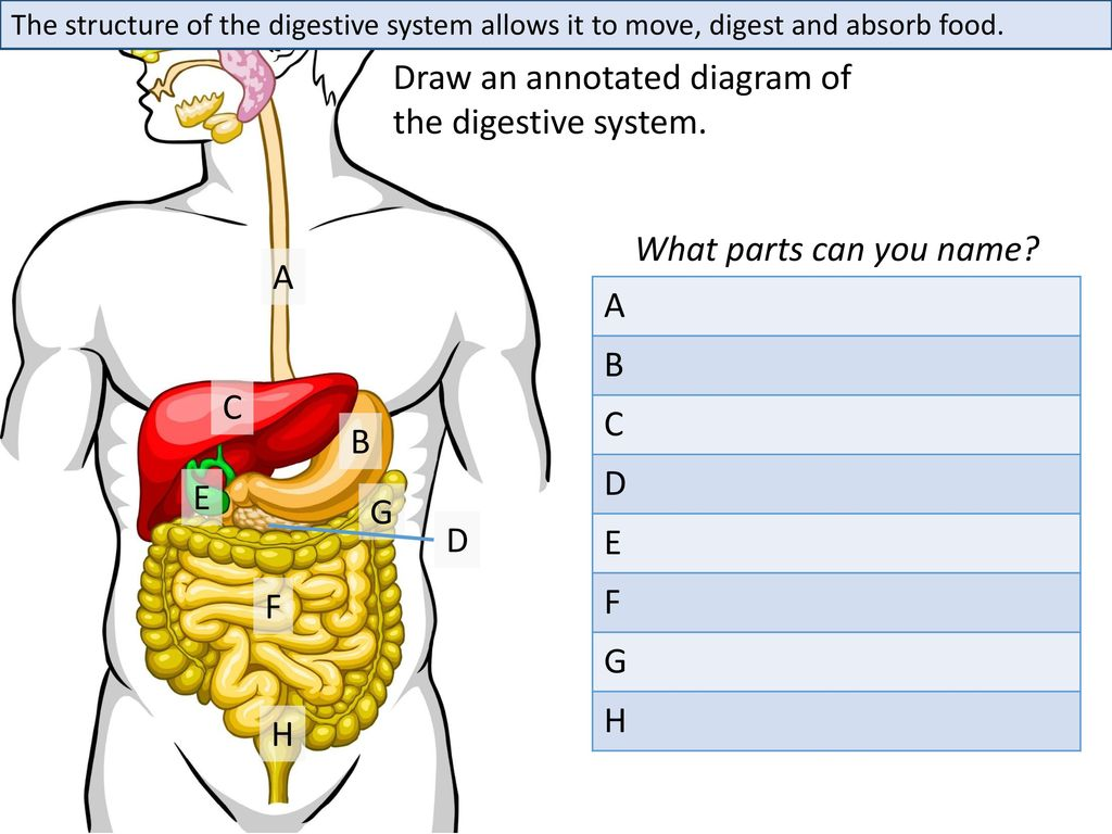 hight resolution of draw an annotated diagram of the digestive system