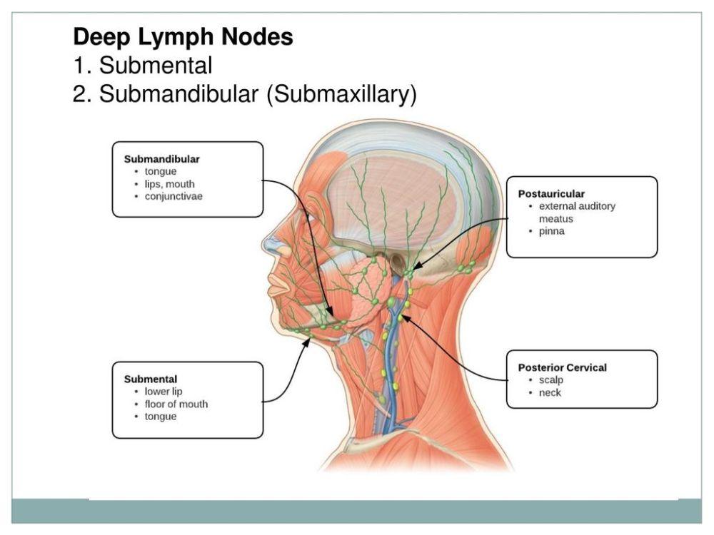 medium resolution of 41 deep lymph nodes 1 submental 2 submandibular submaxillary