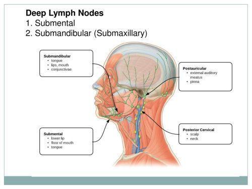 small resolution of 41 deep lymph nodes 1 submental 2 submandibular submaxillary