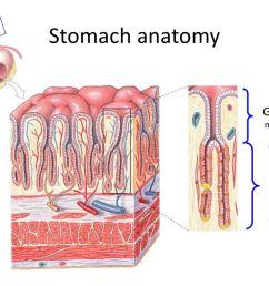gastric pit mucous cells [ 1024 x 768 Pixel ]