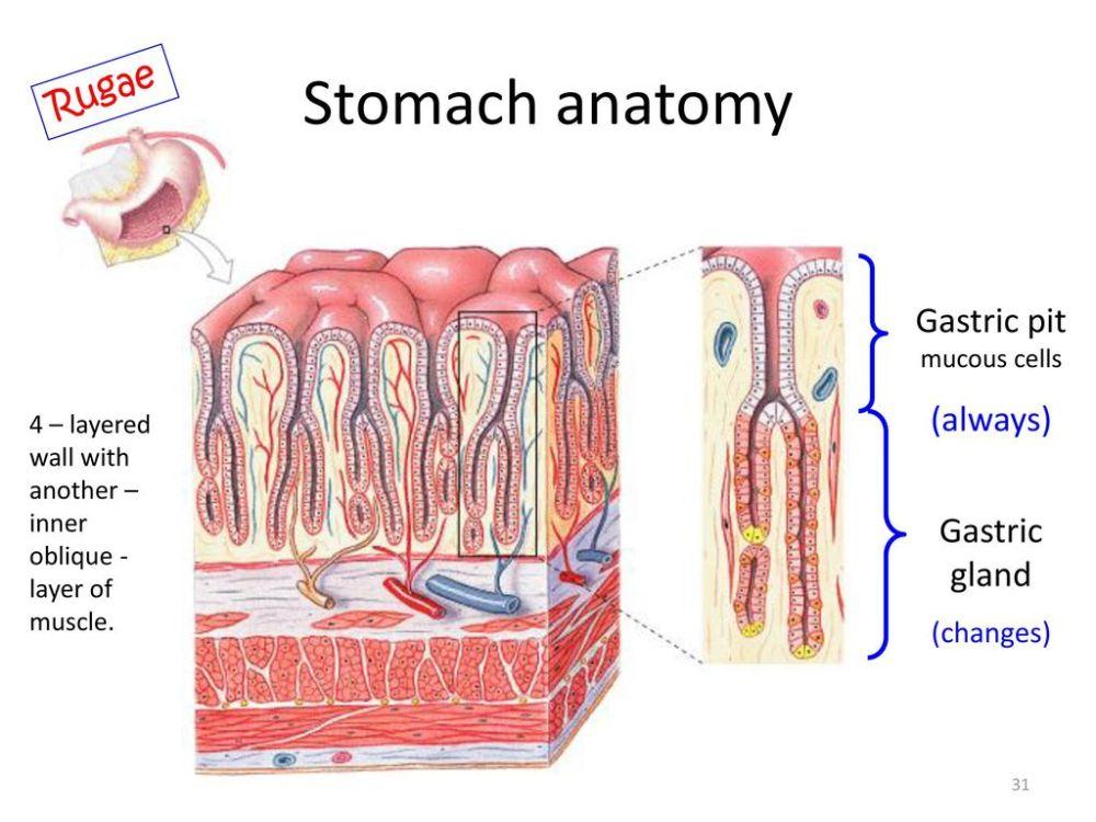 medium resolution of gastric pit mucous cells