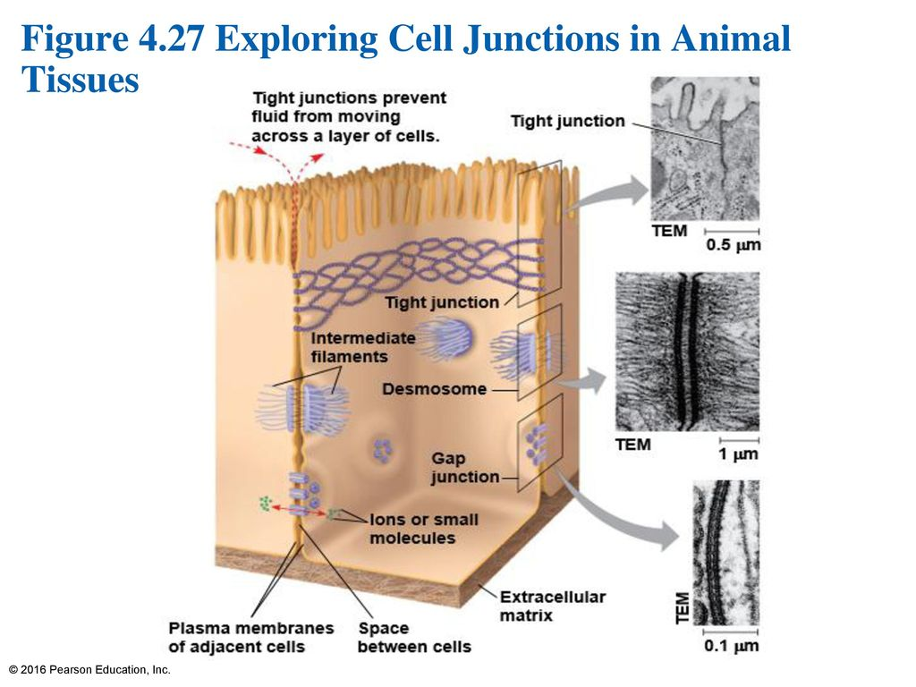 hight resolution of 86 figure 4 27 exploring cell junctions in animal tissues