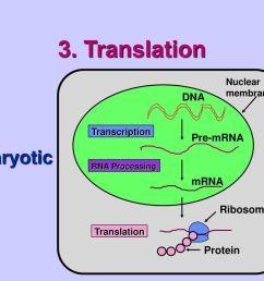 translation eukaryotic cell dna pre mrna mrna ribosome protein [ 1024 x 768 Pixel ]