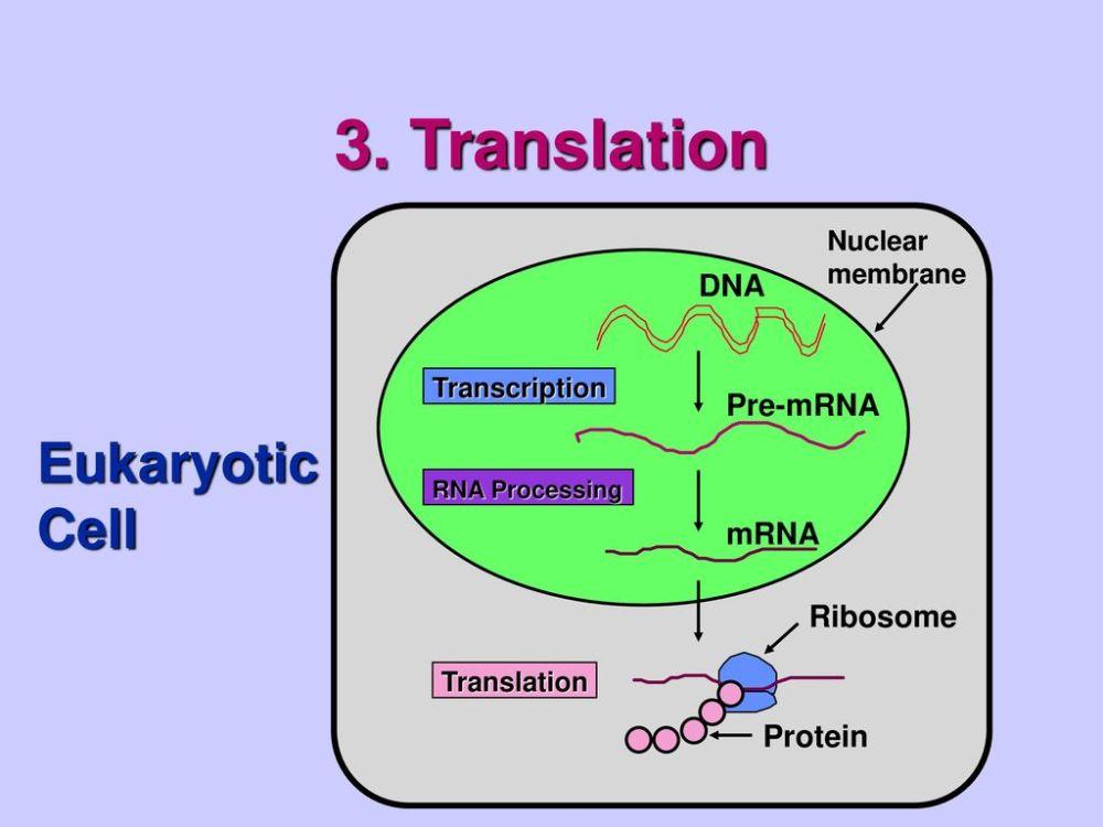 medium resolution of translation eukaryotic cell dna pre mrna mrna ribosome protein