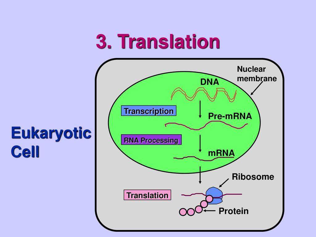 hight resolution of translation eukaryotic cell dna pre mrna mrna ribosome protein