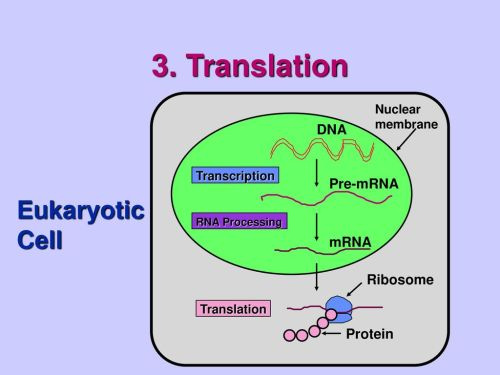 small resolution of translation eukaryotic cell dna pre mrna mrna ribosome protein