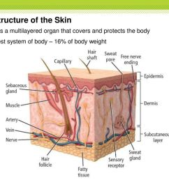 the structure of the skin [ 1024 x 768 Pixel ]