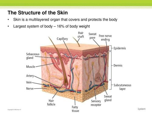 small resolution of the structure of the skin