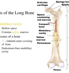 the skeletal system ppt download proximal epiphysis long bone diagram [ 1024 x 768 Pixel ]