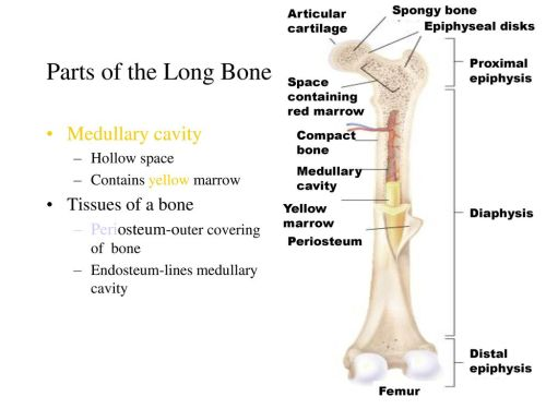 small resolution of the skeletal system ppt download proximal epiphysis long bone diagram