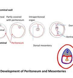 development of peritoneum and mesenteries [ 1024 x 768 Pixel ]