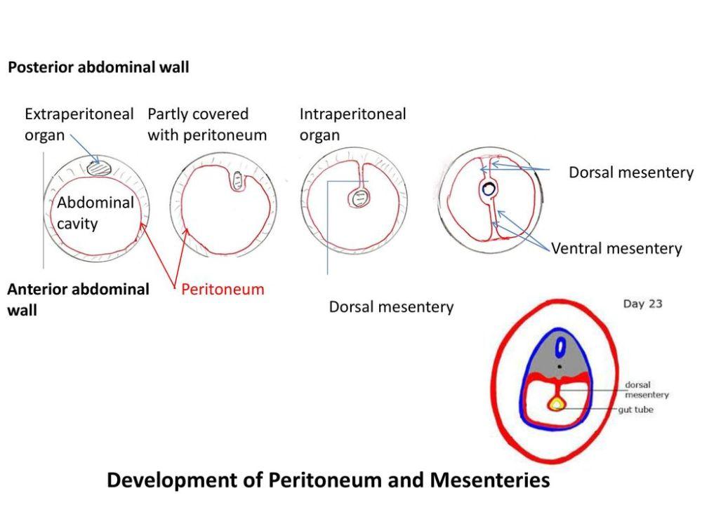 medium resolution of development of peritoneum and mesenteries
