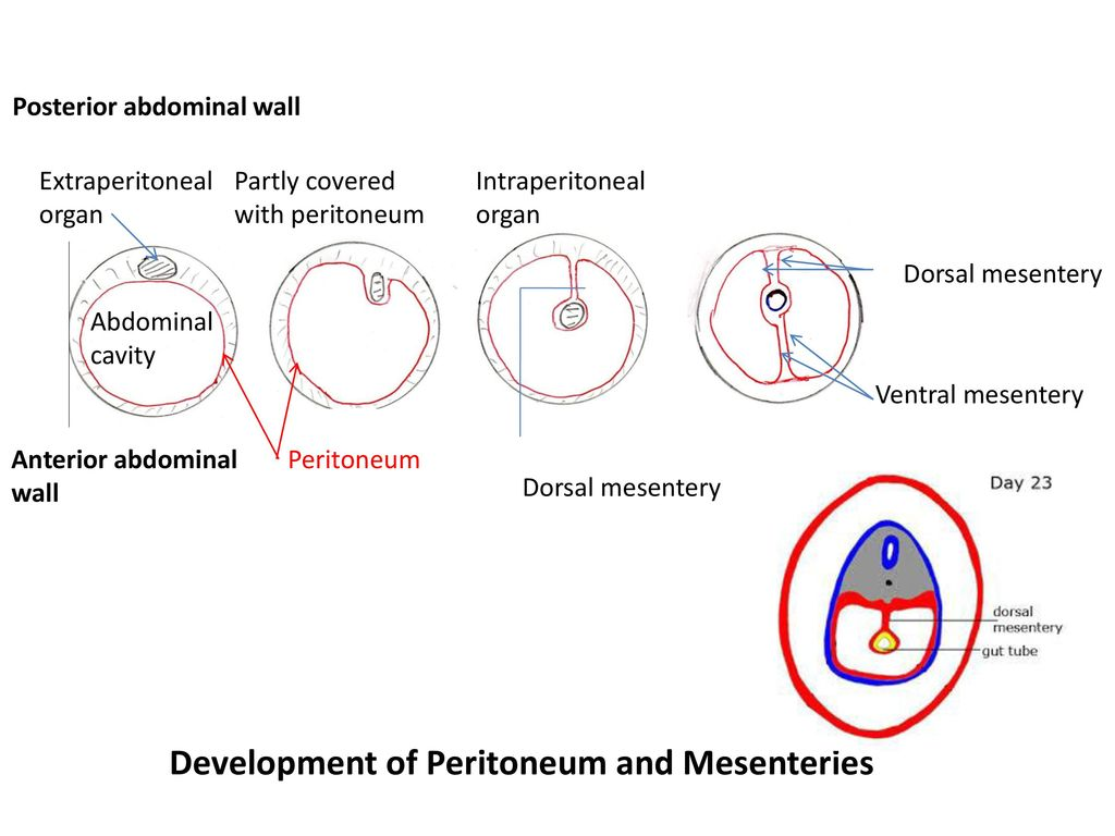 hight resolution of development of peritoneum and mesenteries