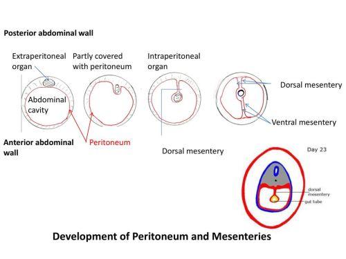 small resolution of development of peritoneum and mesenteries