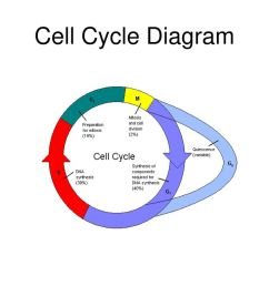1 cell cycle diagram  [ 1024 x 768 Pixel ]