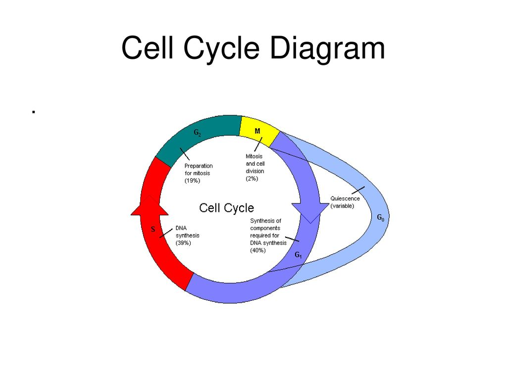 hight resolution of 1 cell cycle diagram