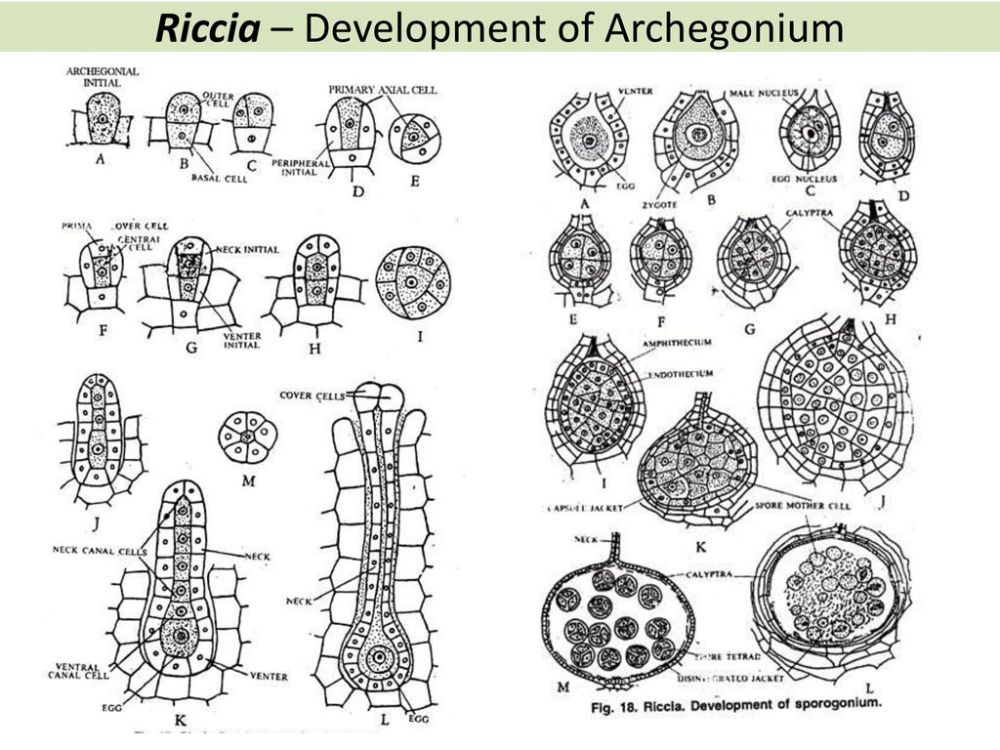 medium resolution of 21 riccia
