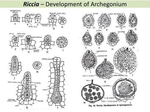 small resolution of 21 riccia
