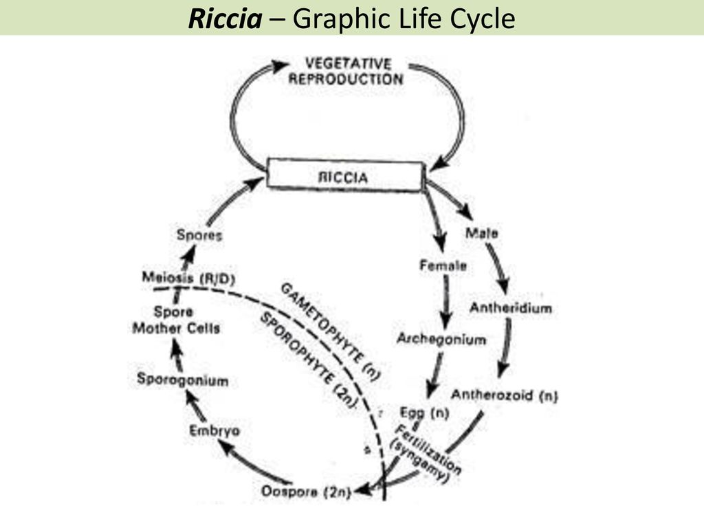 hight resolution of 25 riccia graphic life cycle
