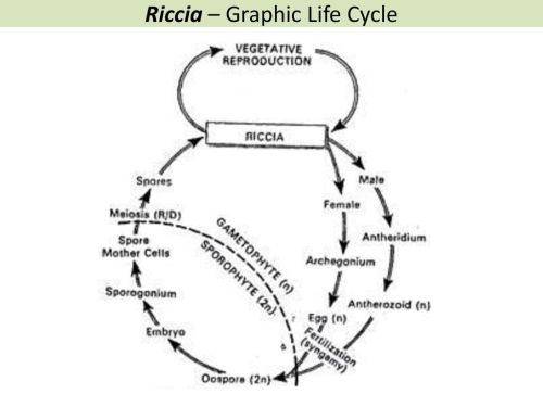 small resolution of 25 riccia graphic life cycle