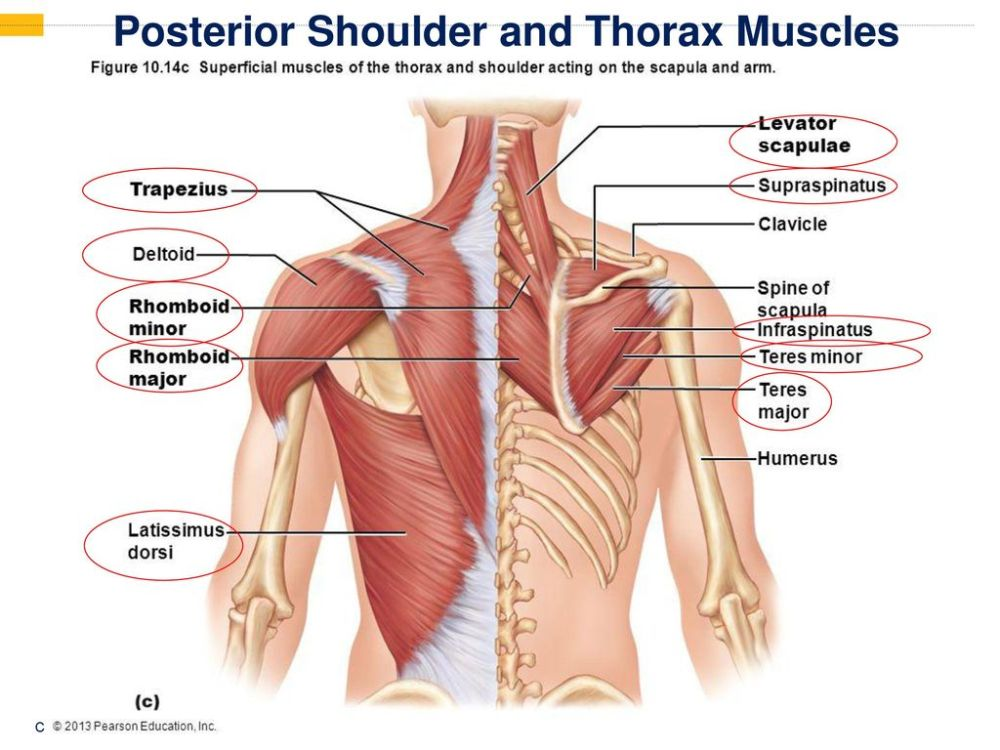 medium resolution of 24 posterior shoulder and thorax muscles