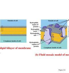 a phospholipid bilayer of membrane [ 1024 x 768 Pixel ]