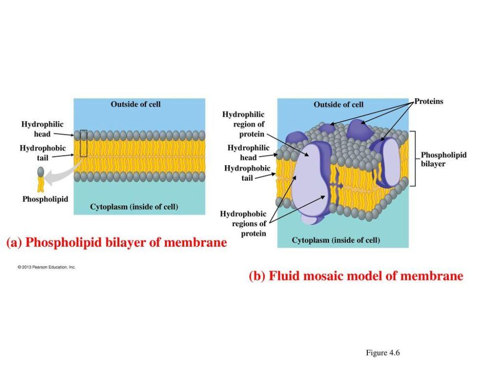 medium resolution of  a phospholipid bilayer of membrane