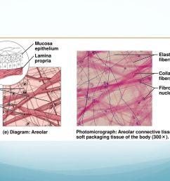 connective tissue types 37 mucosa epithelium  [ 1024 x 768 Pixel ]