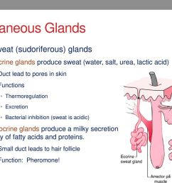 cutaneous glands sweat sudoriferous glands [ 1024 x 768 Pixel ]