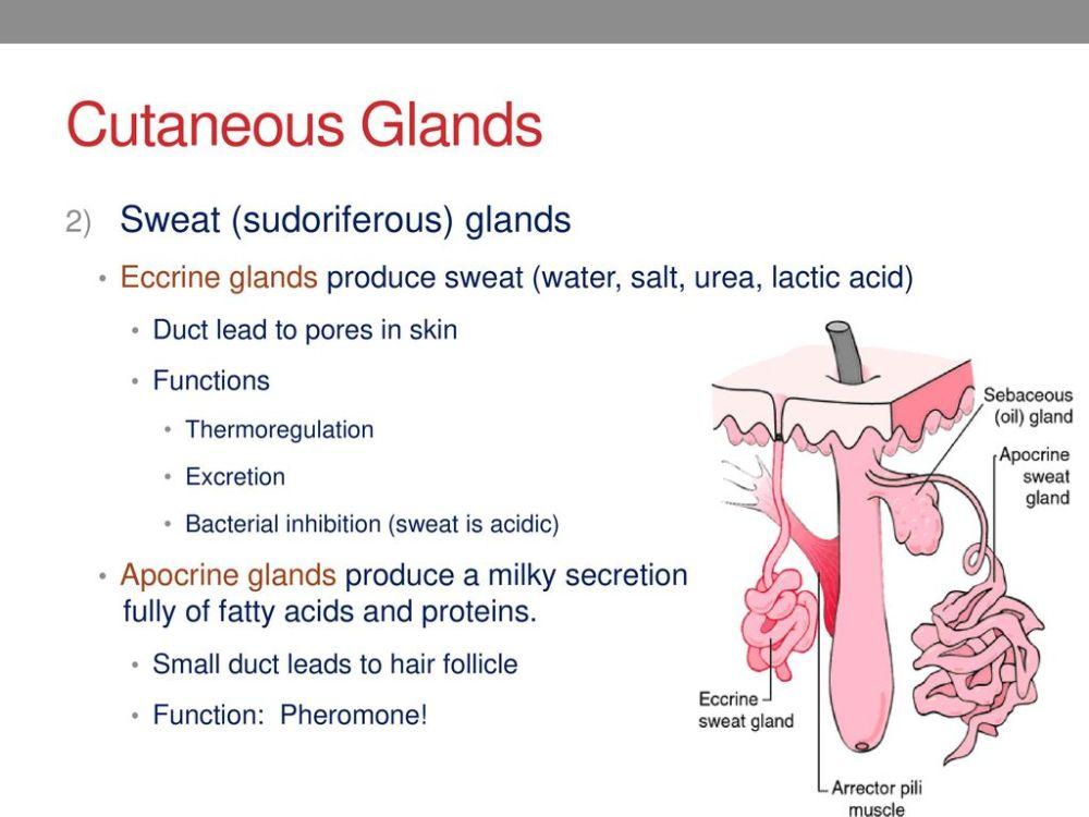 medium resolution of cutaneous glands sweat sudoriferous glands