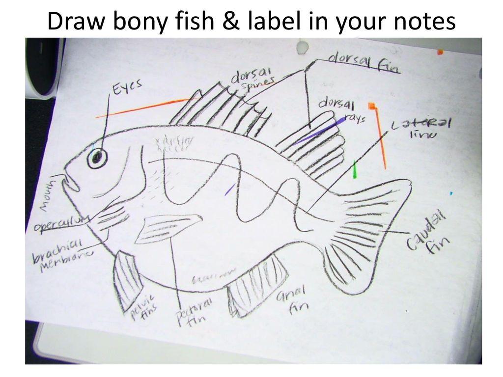 hight resolution of 15 draw bony fish label