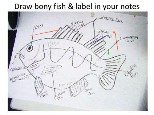 small resolution of 15 draw bony fish label