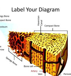 label your diagram spongy bone haversian compact bone canal [ 1024 x 768 Pixel ]