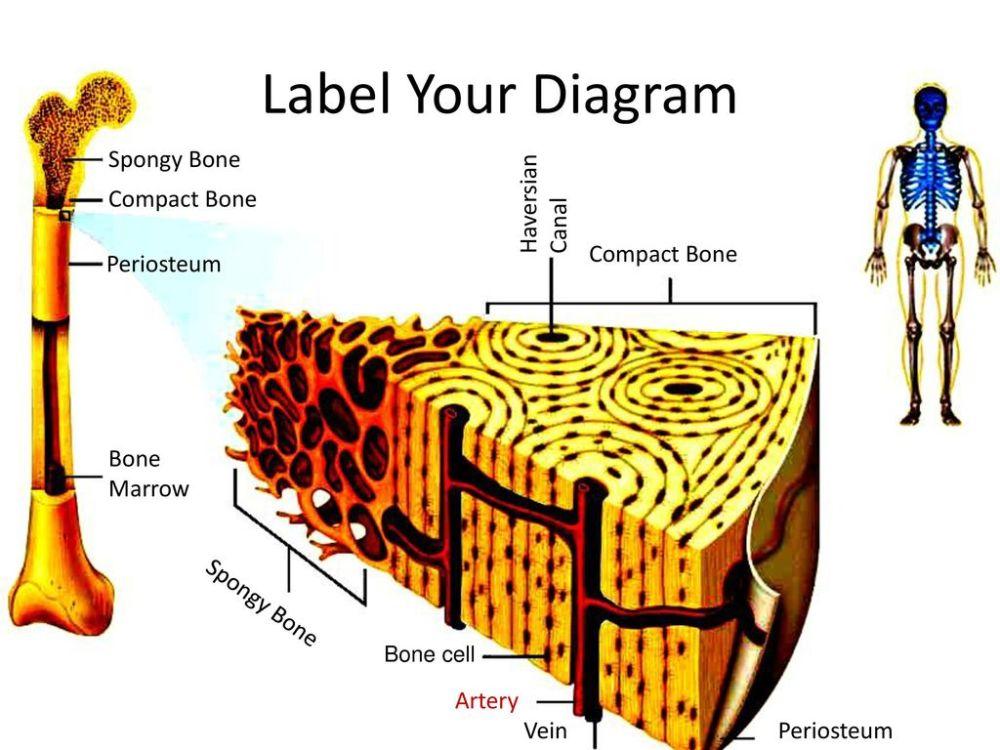 medium resolution of label your diagram spongy bone haversian compact bone canal